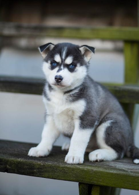 Blues Eyes Siberian Husky
