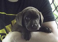 Labrador Retriever kennel