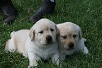 labrador retriever sale