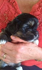 Lhasa Apso Pups born 2nd March