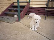 have 2 beautiful boys maremma
