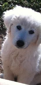 9 beautiful puppies maremma
