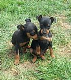 2 x Black and tan Males