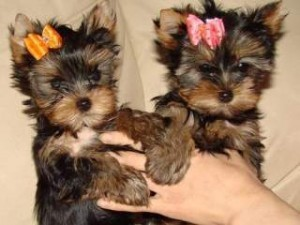 Yorkshire terrier puppies for adoption.