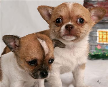 Cute Chihuahua Puppies ready for Adoption.