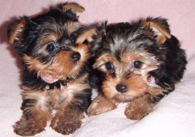 Adorable Teacup Yorkie Puppies ready for Adoption.