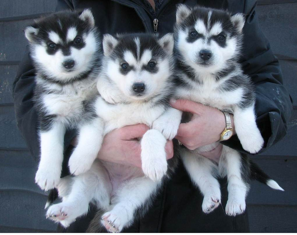 Adorable Husky Puppies ready for Adoption.