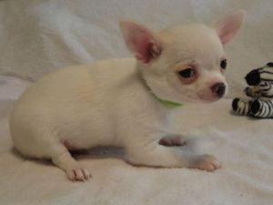 Chihuahua for adoption