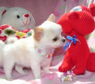 Small Chihuahuas and very beautiful ..