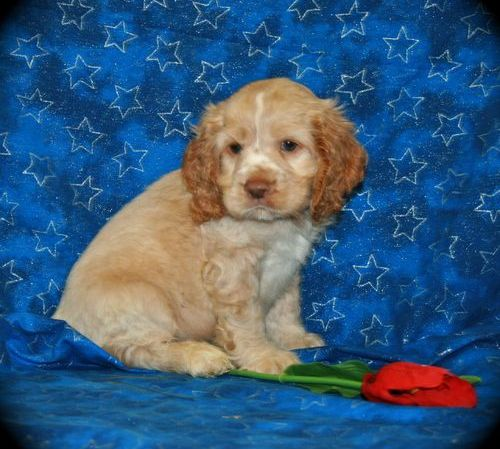 cocker spaniel for adoption