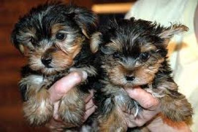 Good Looking Yorkie Puppies for Adoption