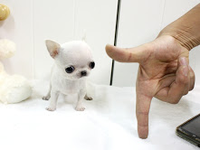 Charming Teacup size Chihuahua puppies available here