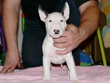 beautiful bull terrier pups for sale miniature & standard sizes