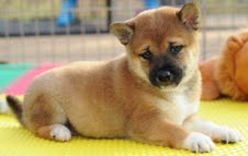 Siba Inu Male and Female Puppies
