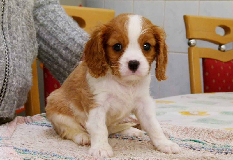 Cute King Charles Pups Available