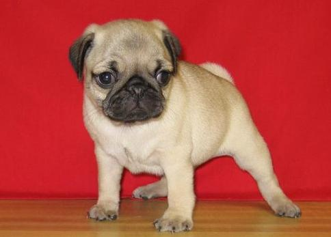 Good tempered pug puppies for re-homing