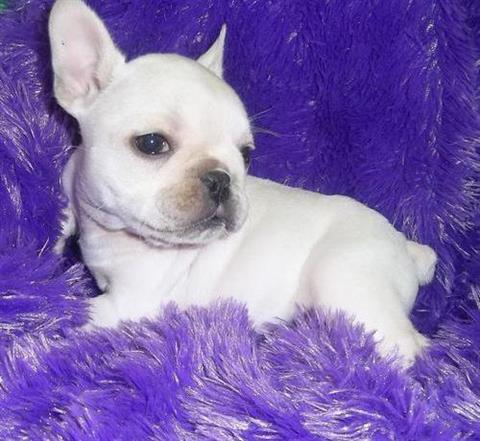 Good tempered french bulldog puppies for re-homing