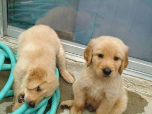 Good tempered Golden retrieve puppies for re-homing