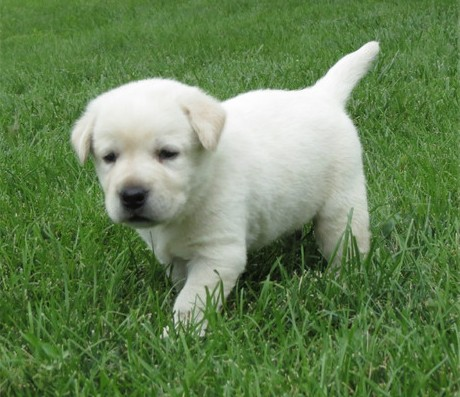 Good tempered Labrador retrieve puppies for re-homing