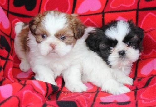 Good tempered shih tzu-i puppies for re-homing