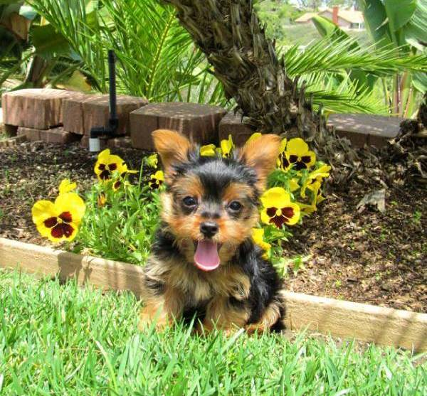 Good tempered yorkshire terrier puppies for re-homing