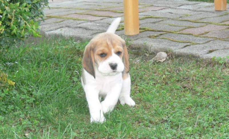 Good tempered beagle puppies for re-homing
