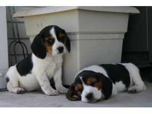 Cute Beagle Puppies