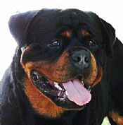 rottweilers puppy available