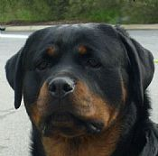 Rottweiler puppies males