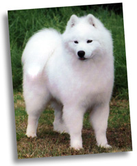 puppy available samoyed