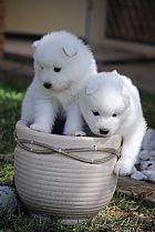 4 beautiful samoyed pup