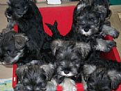 Miniature Schnauzers puppies for sale