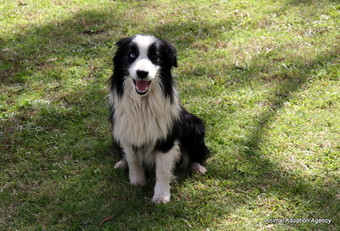 Medium Male Border Collie