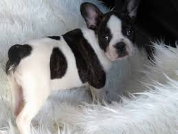 French bulldogs puppies with pedigree