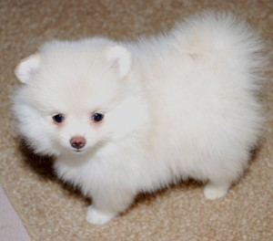 Pomeranian puppies for adop��o