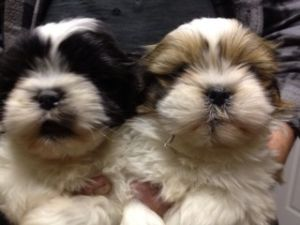 Shih Tzu pups ready now
