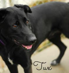 TUX Labrador Retriever/Border Collie Mix: An adoptable dog in Alliston, ON