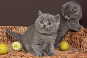3 Cream British Shorthair Boys Pets