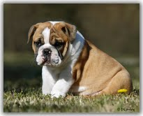 Cute Male And Female English Bulldog Puppies For free Adoption