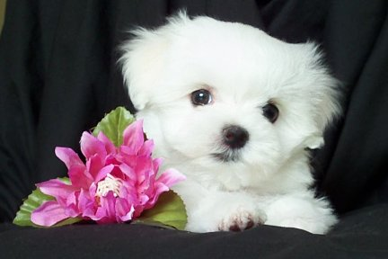 Well Trained Teacup Maltese Puppies Available For Adoption