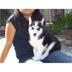 BLUE EYES SIBERIAN HUSKY PUPPIES FOR FREE ADOPTION