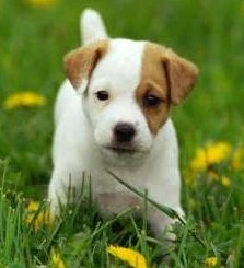 Adorable well bred Jack Russell puppies for adoption.