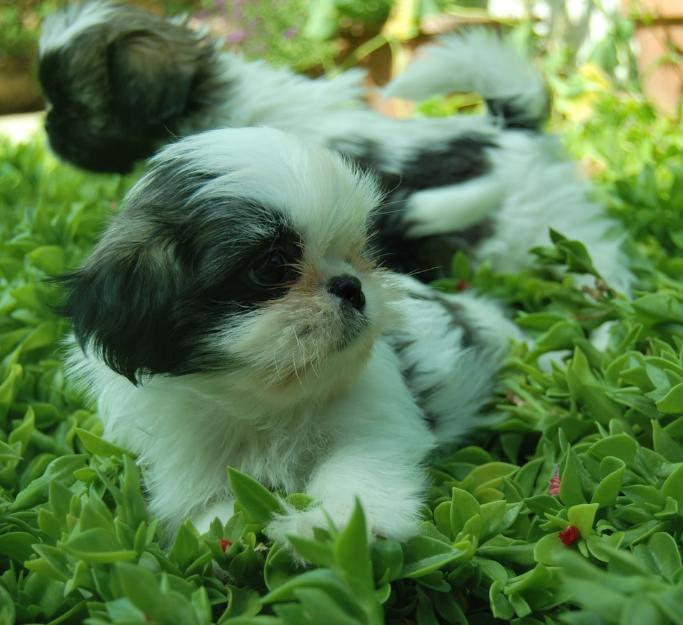 Shih tzu puppies for adoption