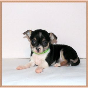 chihuahua (2) females available