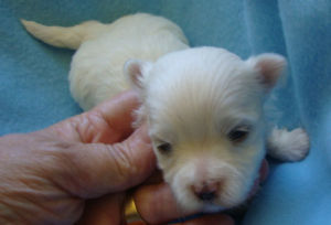TOP QUALITY CKC TEACUP MALTESE PUPPIES AND TOY / MALTESE CCC