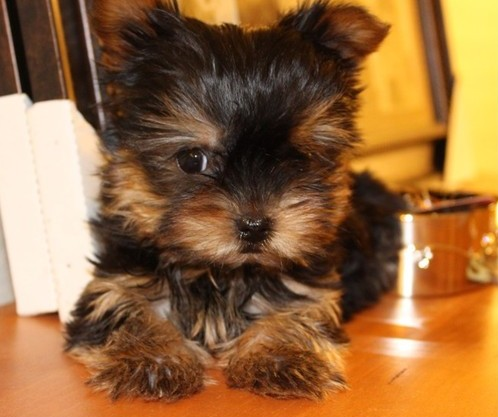Yorkshire terrier Puppies looking for a loving home, Free Adoptions