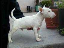 Show Quality Bull Terrier pups