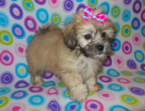 AKC Lhasa Apso Puppies!