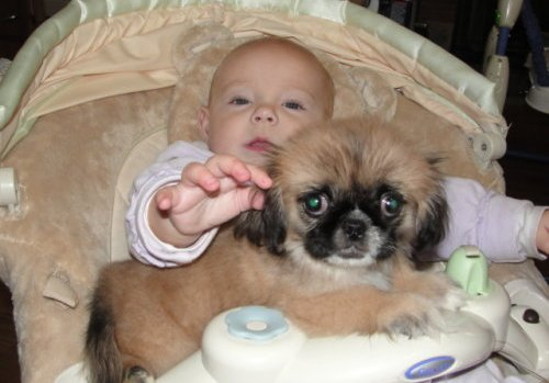 Pekingese puppies.