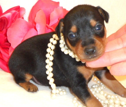 Miniature Pinscher puppies.